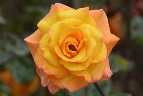 yellow and orange rose flower