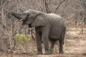 Elephant in the Kruger Park in Africa