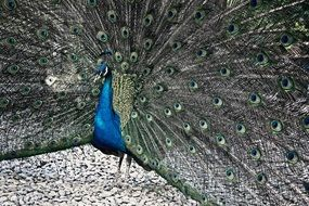 Blue beautiful peacock