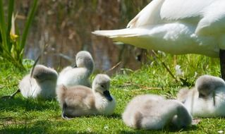 fluffy young swans on the shore of the pond