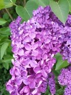 purple flowers of lilac
