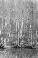 forest near water in black and white