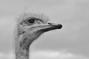 Black and white photo of an ostrich head