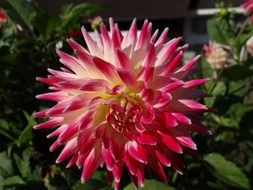 large pink and white dahlia in the garden