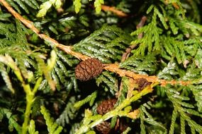 pine cones on a green branch