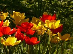 red and yellow tulips in the park