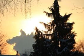 fir at winter sunset