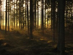 trunks of fir trees in the forest are lit by the morning rays of the rising sun