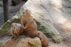 two groundhog on the rocks