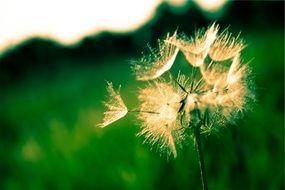 dandelion seeds in nature