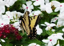 monarch butterfly sitting on beautiful garden flowers