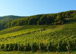 vineyard field in germany