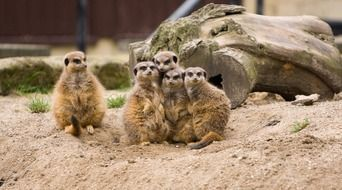 meerkat meerkats family group odd