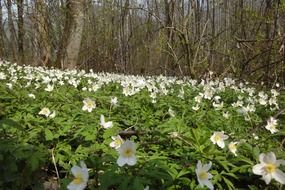 Glade of white anemones