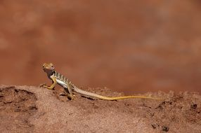 collared lizard reptile portrait