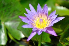 aquatic lotus plant