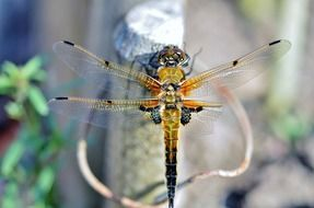 dragonfly insect wildlife bug