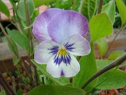 Wild pansy in summer