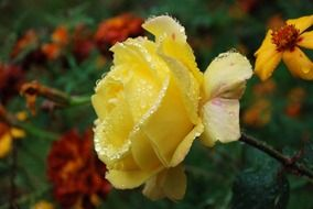 yellow garden rose in water drops