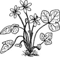 Black and white drawing of the herb clipart