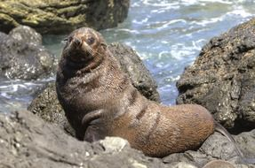 fur seal on the rock in New Zealand