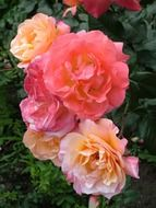 beautiful decorative garden roses