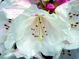 white rhododendrum on a flowerbed in the garden