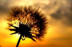dandelion silhouette at sunset