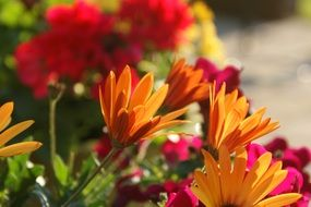 bright colorful daisies closeup