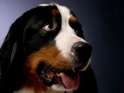 Bernese Mountain Dog closeup