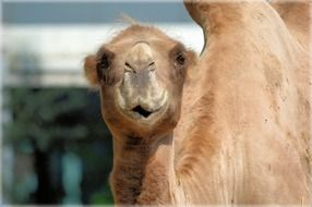 Brown cute camel face