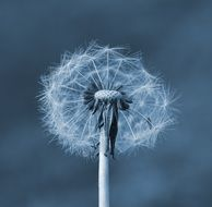 black and white photo of a dandelion