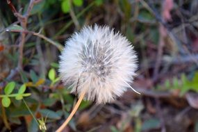 white dandelion seeds flower