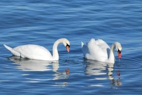 two white swans are reflected in clear water