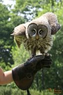 lapland owl sitting on the human hand