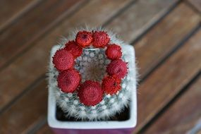 cactus succulent with red flowers