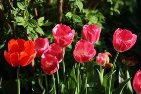 Colorful blossoming tulips in the garden in spring