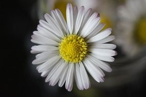 closeup of a white daisy flower
