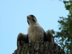 peregrine falcon in a forest