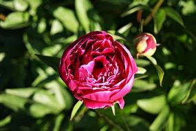 purple peony flower with bud at sun