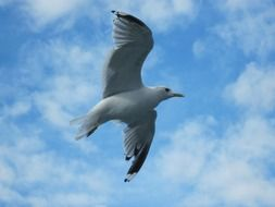 wild gull flies high in the sky