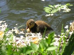little duckling on the water