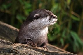 otter in wildlife