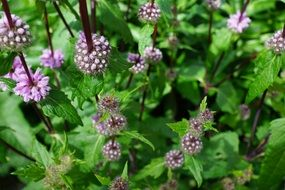 pink mint herbs blossom bloom