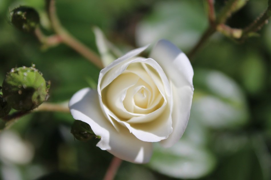 tender white rose closeup