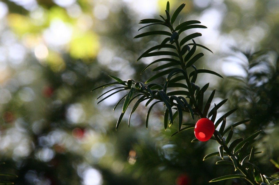 red berry of the yew