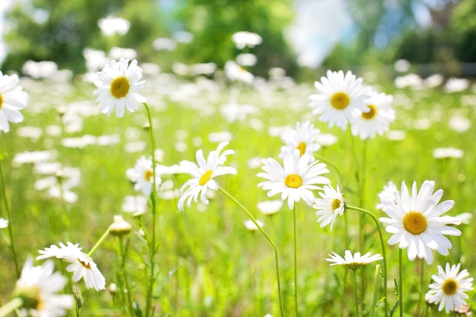 white daisies on sunny meadow