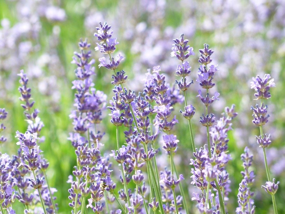 Lavender field close up