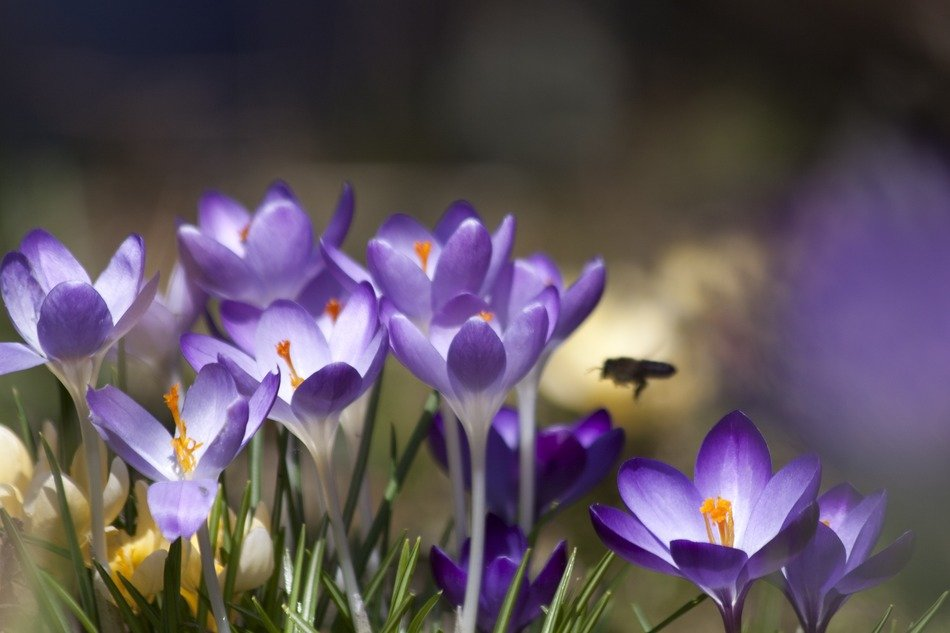 spring crocus with a bee