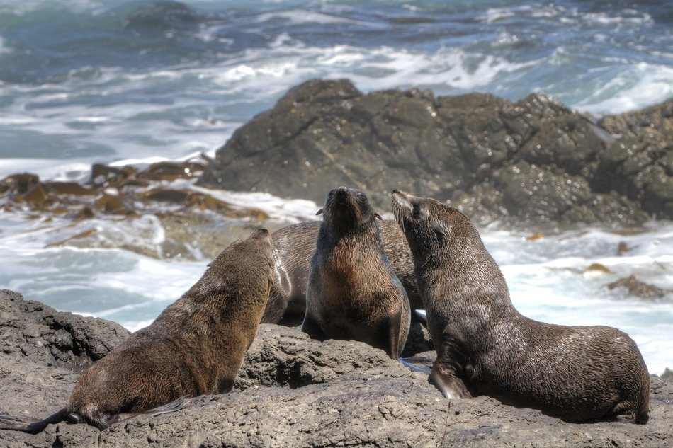 fur seals on the shore